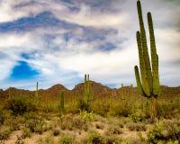 Dominating Saguaro Cactus. Majestic Saguaro cactus dominates the desert landscape in Saguaro National Park royalty free stock photos