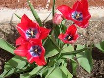 Dominerande rött för mångfärgad spetsig tulpan av min trädgård Arkivfoton