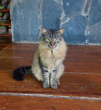 Dominican cat. Brown tabby longhair cat with green eyes is sitting on the wood floor Stock Photo