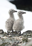 Dominican gull chicks. Dominican gull chicks in the nest royalty free stock image