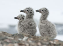 Dominican gull chicks. Dominican gull chicks near the nest on a rocky island Royalty Free Stock Photo