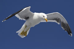 Dominican gull is soaring in the blue sky Royalty Free Stock Photos