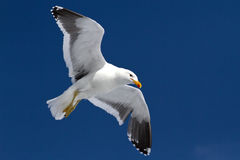 Dominican gull soaring in the blue sky Stock Images