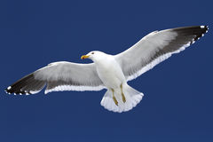 Dominican gull soaring in blue sky in Antarctica. Dominican gull soaring in blue winter sky in Antarctica Royalty Free Stock Images