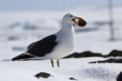 Dominican gull standing on snow with sea urchin Stock Images