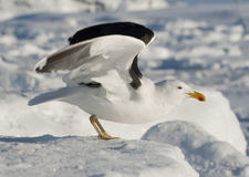 Dominican gull on takeoff. Dominican Gull takes off from the ice Royalty Free Stock Photo