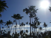 Dominican Palm Trees royalty free stock photos
