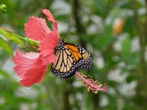 Dominican wild butterfly also known as gallito Royalty Free Stock Photos