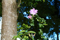 Dominicana blomma Arkivbild