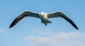 Dominicanus adulto do Larus da gaivota da alga do voo, igualmente conhecido como a gaivota e o preto dominiquenses suportaram a g Imagens de Stock