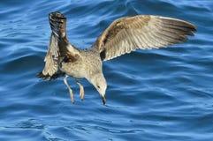 Dominicanus del Larus de la gaviota del quelpo del vuelo Imagen de archivo