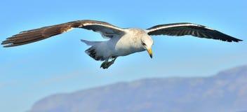 Dominicanus del Larus de la gaviota del quelpo del vuelo Imagen de archivo libre de regalías