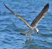 Dominicanus del Larus de la gaviota del quelpo del vuelo Fotografía de archivo libre de regalías