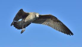 Dominicanus del Larus de la gaviota del quelpo en vuelo Fotos de archivo