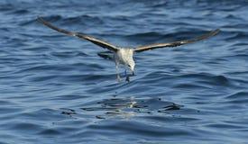 Dominicanus del Larus de la gaviota del quelpo del vuelo Imágenes de archivo libres de regalías