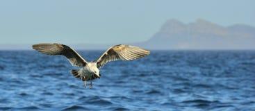 Dominicanus del Larus de la gaviota del quelpo del vuelo Foto de archivo libre de regalías