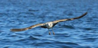 Dominicanus del Larus de la gaviota del quelpo del vuelo Foto de archivo