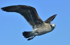 Dominicanus del Larus de la gaviota del quelpo del vuelo Cierre para arriba Fotos de archivo