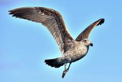 Dominicanus do Larus da gaivota da alga em voo fotografia de stock