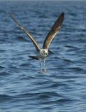 Dominicanus do Larus da gaivota da alga do voo Fotografia de Stock