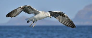 Dominicanus do Larus da gaivota da alga do voo, igualmente conhecido como Domínica Imagens de Stock