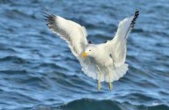 Dominicanus do Larus da gaivota da alga do voo Imagens de Stock Royalty Free