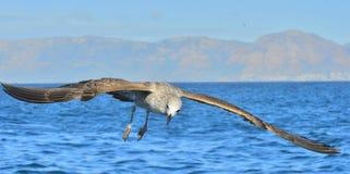 Dominicanus juvenil del Larus de la gaviota del quelpo en vuelo Fotografía de archivo