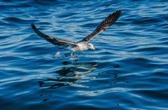 Dominicanus juvenil del Larus de la gaviota del quelpo en vuelo Fotografía de archivo libre de regalías