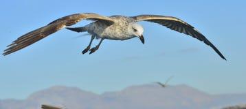Dominicanus juvenil del Larus de la gaviota del quelpo que vuela Fotografía de archivo libre de regalías