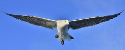 Dominicanus juvenil del Larus de la gaviota del quelpo que vuela Fondo del cielo azul Imagenes de archivo