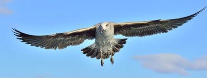 Dominicanus juvenil del Larus de la gaviota del quelpo que vuela Fondo del cielo azul Imagen de archivo
