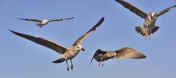 Dominicanus juvenil del Larus de la gaviota del quelpo que vuela, también sabido como la gaviota y el negro dominicanos apoyaron  Fotografía de archivo libre de regalías