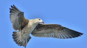 Dominicanus juvenil del Larus de la gaviota del quelpo que vuela, también sabido como la gaviota y el negro dominicanos apoyaron  Imágenes de archivo libres de regalías