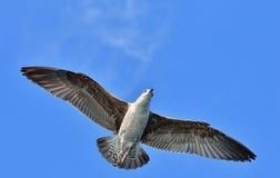 Dominicanus juvenil del Larus de la gaviota del quelpo que vuela, también sabido como la gaviota y el negro dominicanos apoyaron  Foto de archivo