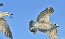 Dominicanus juvenil del Larus de la gaviota del quelpo que vuela, también sabido como la gaviota y el negro dominicanos apoyaron  Fotos de archivo libres de regalías