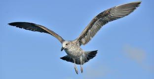 Dominicanus juvenil del Larus de la gaviota del quelpo que vuela, también sabido como la gaviota y el negro dominicanos apoyaron  Fotografía de archivo