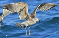 Dominicanus juvenil do Larus da gaivota da alga do voo Água azul do oce Imagens de Stock