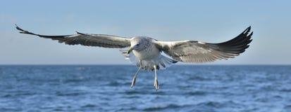 Dominicanus juvenil do Larus da gaivota da alga do voo Fotografia de Stock Royalty Free