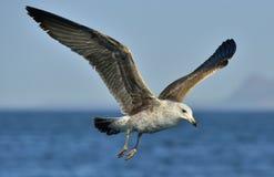 Dominicanus juvenil do Larus da gaivota da alga do voo Imagens de Stock