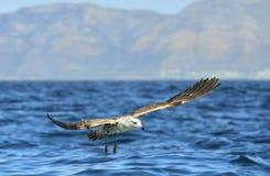 Dominicanus juvenil do Larus da gaivota da alga do voo Imagens de Stock Royalty Free