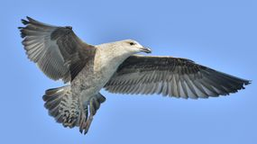 Dominicanus juvenil do Larus da gaivota da alga do voo Fotografia de Stock