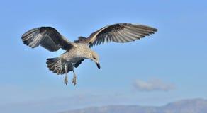 Dominicanus juvenil do Larus da gaivota da alga do voo, igualmente conhecido como a gaivota e o preto dominiquenses suportaram a  Foto de Stock