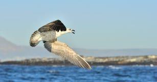 Dominicanus juvenil do Larus da gaivota da alga do voo, igualmente conhecido como a gaivota e o preto dominiquenses suportaram a  Imagem de Stock