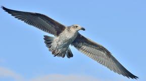 Dominicanus juvenil do Larus da gaivota da alga do voo, igualmente conhecido como a gaivota e o preto dominiquenses suportaram a  Fotos de Stock Royalty Free