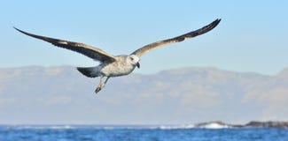Dominicanus juvenil do Larus da gaivota da alga do voo, igualmente conhecido como a gaivota e o preto dominiquenses suportaram a  Imagem de Stock Royalty Free