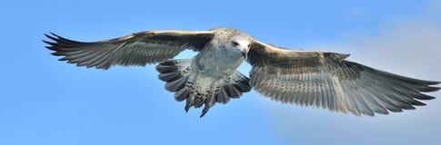 Dominicanus juvenil do Larus da gaivota da alga do voo Fundo do céu azul Imagem de Stock