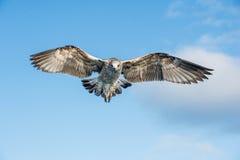 Dominicanus juvenil do Larus da gaivota da alga do voo, igualmente conhecido como a gaivota e o preto dominiquenses suportaram a  Imagens de Stock
