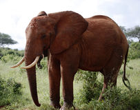 Dominierender afrikanischer Elefant Lizenzfreies Stockfoto
