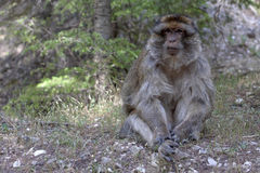 Dominierender männlicher Barbary-Affe, Macaca Sylvanus, Atlas-Berge, Marokko Stockfotografie