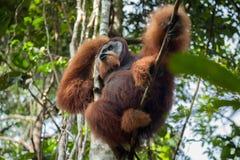 Dominierender männlicher Orang-Utan schreit und sitzt in einem Baum im Dschungel Lizenzfreie Stockfotografie